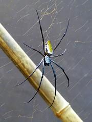 Néphile de Madagascar (Raymonde Contensous) Tags: paris pzp zoodevincennes parczoologiquedeparis animaux nature néphiledemadagascar néphiledorée araignées arachnides