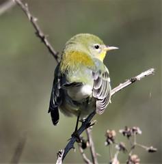 Northern Parula (Setophaga americana) 10-13-2018 Assateague I. NS--Bayside Point, Worcester Co. MD 2 (Birder20714) Tags: birds maryland warblers setophaga americana
