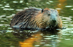 The familiar beaver (irio.jyske) Tags: animal beaver beautiful beauty nature naturephoto naturepictures naturephotograph naturephotographer naturephotos naturescape naturepics naturepic natural tree birch branches pond water food supper evening autumn eat colors familiar curious friendly photographer photograph photos pic