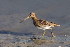 Snipe (terrylaws526) Tags: birds newhythe snipe wildlife