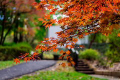 Maple Leaves (YL168) Tags: sonyflickraward mapleleaf autumnleaves e50mm sony 攝影發燒友