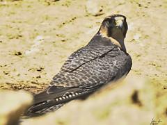 _D715197 Edelvalk (johann.spies) Tags: edelvalk falcobiarmicus kgalagadi22018 lannerfalcon voëls birds valk falcon wildlife kalahari natuurlewe natuur nature