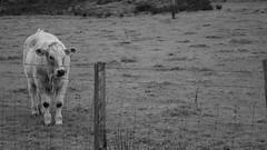 Watching the world go by (Sta Li Va) Tags: nikon d3300 cow blackandwhite monochrome farm wales uk