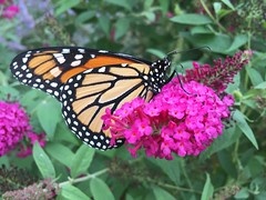 Monarch, Rochester NY (Evan Lowenstein) Tags: monarch butterflybush rochesterny rochester