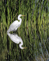 Great Egret reflections (Patrick Dirlam -Thanks for the 1 million views!) Tags: northcounty trips atascaderolake birds waterbirds great egret