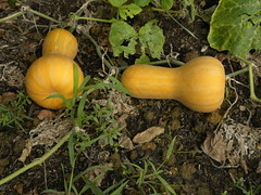 September Butternuts (MadKnits) Tags: garden growing plants green harvest september squash butternutsquash