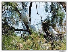 2017-05-15_Aigrettes Garzettes-0028.jpg (Hacheme 26) Tags: héron oiseaux aigrette animaux natureetpaysages saintesmariesdelamer provencealpescôtedazur france fr