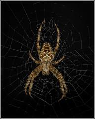 European Garden Spider or Cross Orb-Weaver (Linton Snapper) Tags: orbwebspider spider cannon cambridgeshire ef100mmf28macro canoneos1dsmarkiii lintonsnapper
