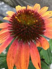 c2018 Sept 28, Orange Coneflowers IPhoneography 10 (King Kong 911) Tags: coneflowers hibiscus asters purslane plants growing green petals blooming
