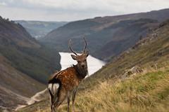 Stag! (Wild Atlantic Photos) Tags: wildlife wicklow glendalough deer