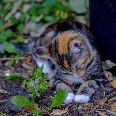 playful (chryssiesgreece) Tags: chryssiesgreececom ellie pet cat