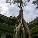 Ta Phrom Tree