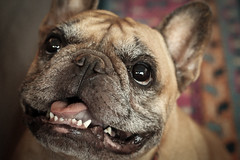 French Bulldog (Corey Rothwell) Tags: frenchie bulldog french dog animal