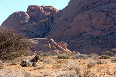 Content _3932 (hkoons) Tags: southernafrica welwitschiaplainspark volcanicrock africa african boulders damara namib namibdesert namibia spitzkoppe zebra beast desert geology granite gravel hills landscape mammal outdoors outside panorama plants rocks sand stone stripes zebras
