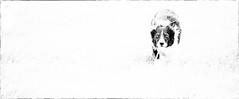 40/52 The Black & White Jobbie (JJFET) Tags: 40 52 weeks for dogs paddy border collie sheepdog dog herding