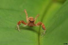 Orangy Jumper (harshithjv) Tags: spider archanid brettus arachnida araneae araneomorphae araneidae salticidae spartaeinae thorell canon 80d tamron 90mm godox diffuser