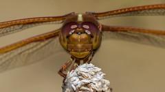 Dragonfly (mon_ster67) Tags: canoneosrebelt3i insecto odonatos odonata dragonfly mon ©mon canon closeup macro macrophotography garden backyard upclose flyinginsect t3i macrofotografía