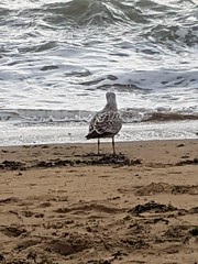Friday, 12th,  Seagull 2018. (tomylees) Tags: seagull broadstairs kent october 12th friday 2018 project 365