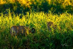 A pair of jaguar at sunset (Valter Patrial) Tags: jaguar panthera onca onça pintada felino mamífero pantanal pantanalwildlife family golden fun