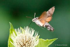Schmetterlinge / Taubenschwänzchen  (180/1) (rgr_944) Tags: schmetterling butterfly papillon tiere insekten macro natur canoneos60deos70deos80deos7dmk2eos5dmk4 rgr944