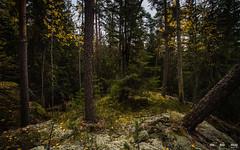 Urskog-3811 (jarud) Tags: 2018 norge norway notodden urskog