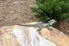Bearded dragon on a rock at Roma Street Parklands, Brisbane (philip.mallis) Tags: brisbane romastreetparklands park lizard dragon