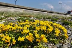 Pys y ceirw  (Lotus corniculatus), y Borth (Rhisiart Hincks) Tags: pysyceirw crobhéin blàthanbuidhenambó melchonkornek komonicazwyczajna lotcorniculat rolklaver lotuscorniculatus bird'sfoottrefoil birdfootdeervetch ginestrinocuernecillo lotiercorniculé hornklee לוטוסמקרין käringtand maite yellow buidhe melyn melen hori jaune blodau bleujyow bleunioù flowers dìthean flùraichean loreak fleurs bláthanna ue eu ewrop europe eòrpa europa aneoraip a'chuimrigh kembra wales cymru kembre gales galles anbhreatainbheag yborth ceredigion aod glanymôr cósta kostalde coast côte arfordir seaside coisfarraige