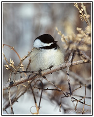The Tiny Blackcap Chickadee _ Feathers Puffed up in Sub Zero Weather (Bill E2011) Tags: nature birds canada northamerica canon tiny small fluffy winter