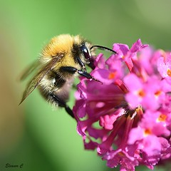 Common Carder Bee (Eleanor (No multiple invites please)) Tags: commoncarderbee buddlea garden stanmore uk nikond7200 october2018