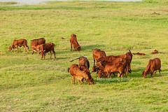 _J5K0225.0512.Nhật Tảo.Phúc Thọ.Hà Nội (hoanglongphoto) Tags: asia asian vietnam northvietnam nature cattle cow beefs grass sunny sunlight canoneos1dsmarkiii canonef70200mmf28lisiiusm hànội phúcthọ ngọctảo landscape scenery vietnamlandscape vietnamscenery vietnamscene phongcảnh bãicỏ đànbò giasúc nắng đànbògặmcỏ đànbòăncỏ