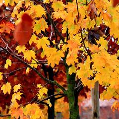 Seasonal signs (Robyn Hooz) Tags: red yellow leaves foglie maple acero alberi trees padova tronchi rami branches colors autunno fall cadere autumn urban città