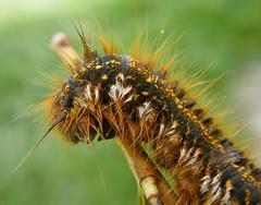 Szomjas pohók (Euthrix potatoria) hernyója - Drinker caterpillar - Grasglucke Raupe (baloghdia1985) Tags: euthrix macro lasiocampidae caterpillar