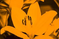 1901 (lenashepherd) Tags: yellow flower lily plant nature art artist abstract antwerp project harmony mystery day blurry figure old november contrast photography photoshoot shot shepherd sad dark light lenashepherd lxnva lena lost melancholy work camera nikon d3300 black