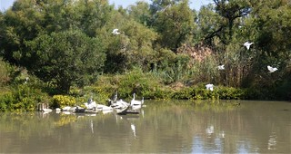 Birds of the Camargue:  fly past