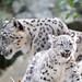Snow Leopard Kitten Walking With Goofy Face