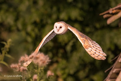 Barn Owl - Just left the barn 501_2842.jpg (Mobile Lynn) Tags: owls barnowl birds nature bird fauna strigiformes tytoalba wildlife nocturnal coth