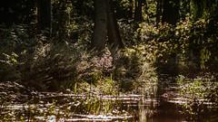 01.08.2018 (Fregoli Cotard) Tags: ducks quiet wild water nature quietinthewild reeds reed river sun warm summer summerday forest 213365 213of365 dailyjournal dailyphotography dailyproject dailyphoto dailyphotograph dailychallenge everyday everydayphoto everydayphotography everydayjournal aphotoeveryday 365everyday 365daily 365 365dailyproject 365dailyphoto 365dailyphotography 365project 365photoproject 365photography 365photos 365photochallenge 365challenge photodiary photojournal photographicaljournal visualjournal visualdiary