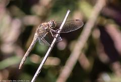 0T4A9818 (2) (Alinbidford) Tags: alancurtis brandonmarsh dragonfly nature wildlife