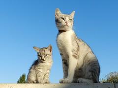 Maman et son petit (Daniel Biays) Tags: chats cats chaton kitten animaux animals
