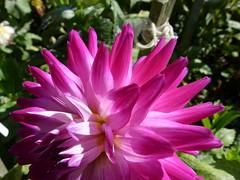 dahlias 8/8 (Jef Poskanzer) Tags: flower flowers dahlia dahlias goldengatepark dahliagarden geotagged geo:lat=3777250 geo:lon=12245931 t