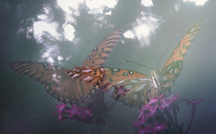 Flying from Dream to Dream (Charles Opper) Tags: agraulisvanillae autumn canon fall georgia gulffritillary heliconiinae nymphalidae passionbutterfly butterfly color dreamy flowers fritillary insect light mood multipleexposure nature pentas midway unitedstates