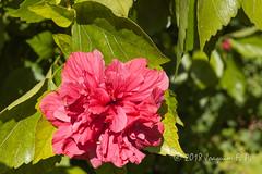 Hibiscus de flor doble (Joaquim F. P.) Tags: cultivada jardin joaquimfp portaventura flora hotelelpaso salou tarragona spain hibisco hibiscus flor doble malvaceae ornamental double flower