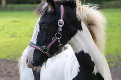 Lou Lou (excellentzebu1050) Tags: foal horse animal livestock field farm farmer animalportraits closeup coth5