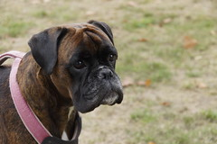 Boxer Marly in Mayen 04-10-2018 (marcelwijers) Tags: boxer marly mayen 04102018