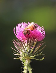 Pequeños mundos (carlos_ar2000) Tags: abeja bee flor flower color colour naturaleza nature thistle cardo insecto insect bug dof buenosaires argentina