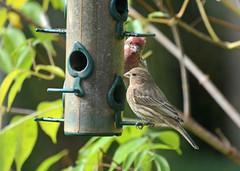 House Finch has gotten her way (ctberney) Tags: housefinchfemale purplefinchfemale purplefinchmale finches birdfeeder backyard territory competition birds nature