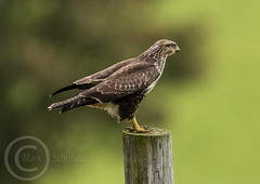 Wildlife October 7th 2018 085 - Buzzard having a break (Mark Schofield @ JB Schofield) Tags: pennine way south pennines peak national park trust hills moors vallies valley reservoir water peat moorland bog moss agriculture yorkshire huddersfield wessenden head pule buckstones scammonden royd edge holme colne marsden meltham digley march haigh west nab deer emley mast lapwing curlew hare bird wildlife oyster catcher chick young short eared owl hunting little duck mallard grouse kestrel red grey wagtail flight fly moorhen buzzard heron dipper geese canada goose great tit blue finch