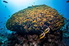 Healthy salad (germorelia) Tags: unterwasserphotography reef egypt diving tauchen riff unterwasserfotografie nauticam ägypten sony inon unterwasser sinai underwater
