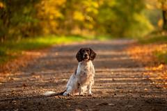 On the road (Flemming Andersen) Tags: zigzag spaniel pet nature dog hund outdoor green autumn cocker animal brande centraldenmarkregion denmark dk