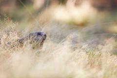 Murmeltier (generalstussner) Tags: murmeltier marmot wiese meadow bokeh dof canon 5dmarkiv